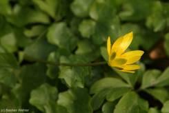 Gelbe Blüte des Scharbockskrauts