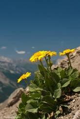 Gelbe Blüten am Cime de la Bonette