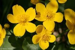 Gelbe Blüten einer Sumpfdotterblume