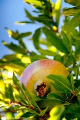 Granatapfel (Punica granatum) in einem der Gärten am Straßenrand in Le Trayas