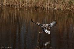 Graugans bei der Landung im Wasser