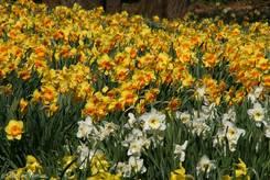 Große Ansammlung verschiedener blühender Narzissen im Frühling 2010