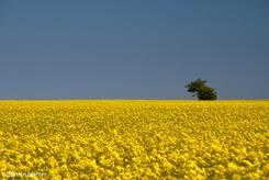 Großes Rapsfeld mit einem einsamen Baum am Horizont