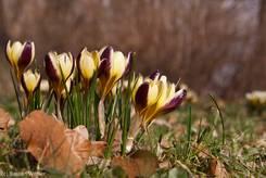 Gruppe von blühenden Krokussen in der Farbe beige bis zart gelb und burgunder