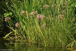 Gruppe von blühenden Schwanenblumen an einem Teichrand