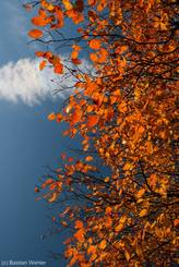 Herbstlich bunte Felsenbirne im Sonnenlicht
