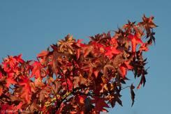 Herbstlich rote Ahornblätter