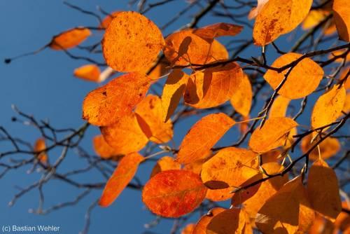 Herbstliche Färbung einer Felsenbirne
