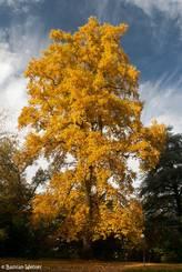 Herbstlicher Baum in leuchtend Gelb
