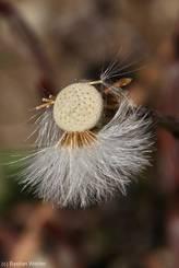 Huflattich mit zum größten Teil verwehten Samen