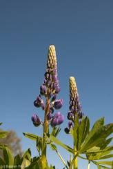 Junge violette Blüten der Vielblättrige Lupine (Lupinus polyphyllus)
