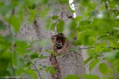 Junger Buntspecht (Dendrocopos major) im Nest