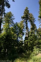 Jura: Riesige Tannen im Wald von La Joux