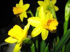 Kleine gelbe Narzissen