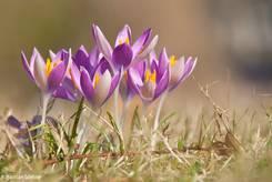 Kleine Gruppe weiß-violetter Krokusse