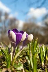 Krokus mit abwechselnd weißen und violetten Blütenblättern
