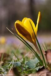 Krokus mit einer Blüte die als Grundfarbe gelb hat und dazu noch an der Außenseite Flecken in braun-burgunder besitzt