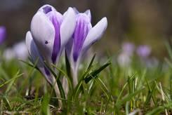 Krokus mit einer Blüte in einer interessanten violetten Farbvariante
