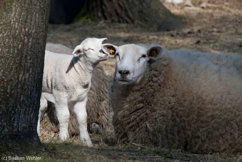 Lamm und Mutterschaf