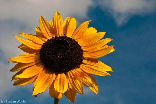 Letzte Sonnenblume im Herbst