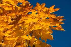 Leuchtend gelbe Blätter an einem Ahorn
