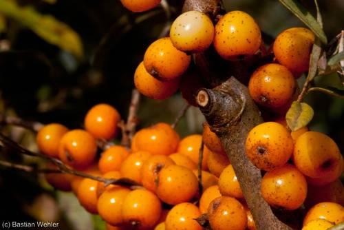 Leuchtend orangefarbene Früchte an einem Sanddorn (Hippophae rhamnoides)