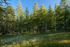 Lichtung voller Wollgräser im Lärchenwald zwischen dem Lac de la Roue und dem Dorf Souliers