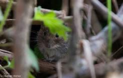 Maus im Gebüsch - leider sind die kleinen Tierchen oft zu flink um sie ganz zu fotografieren