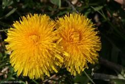 Nahaufnahme von zwei Löwenzahnblüten
