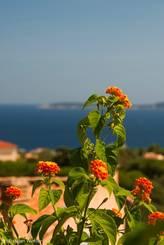 Orange-gelbes Wandelröschen (Lantana camara) mit dem Mittelmeer im Hintergrund
