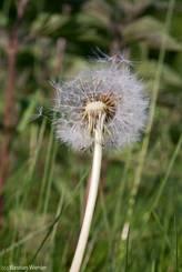 Pusteblume - gereifte Samen des Löwenzahns