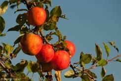 Reife Äpfel im Abendlicht