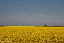 Riesiges Rapsfeld auf der Ostseeinsel Fehmarn, im Hintergrund erkennt man den Kirchturm von Petersdorf