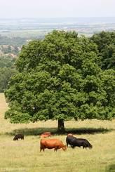 Rinder auf einer Wiese in der Nähe von Bad Harzburg