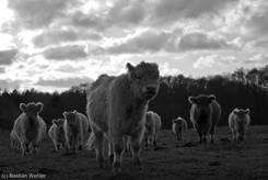Rinderherde im November (schwarz-weiß)