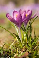 Rötlich-violette Krokusse
