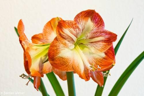 Rot-weiße Blüten einer Amaryllis