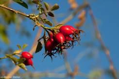 Rote Hagebutten, hier vermutlich als Früchte einer Hunds-Rose (Rosa canina)