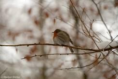 Rotkehlchen (Erithacus rubecula) im Winter