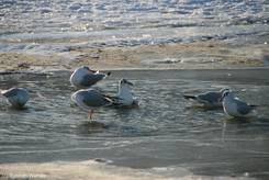 Scharbeutz: Badende Möwen in der letzten Wasserlache am Strand