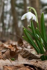 Schneeglöckchen mit gefüllter Blüte