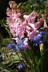 Schulgarten Lübeck: Blausterne vor rosafarbenen Hyazinthen
