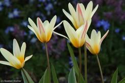 Schulgarten Lübeck: Blühende Tulpen, vermutlich Kaufmanniana-Tulpen