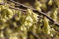 Schulgarten Lübeck: Blüten der Scheinhasel (Corylopsis pauciflora)