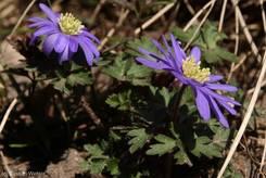 Schulgarten Lübeck: Tief blauviolette Strahlenanemone (Anemone blanda)/Balkan-Windröschen