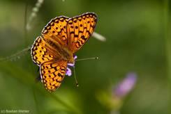 Schwarz gepunkteter oranger Schmetterling auf einer Blüte am Ufer des Sees