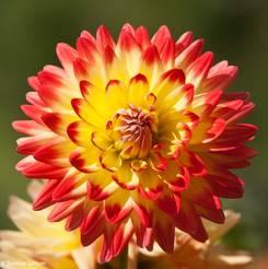 Strahlenförmige Blüte einer Dahlie in gelb-rot