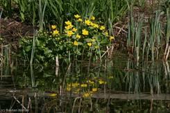 Sumpfdotterblume (Caltha palustris) am Teich des Lübecker Schulgartens