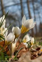 Vergleichsweise früh blühende Krokusse mit weißen Blüten und eher spitz zulaufenden Blütenblättern