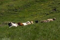 Verschiedenfarbige Kühe auf der französischen Seite des Col Agnel